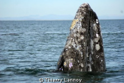 Gray whale in Guerrero Negro, Baja California, Mexico by Thierry Lannoy 